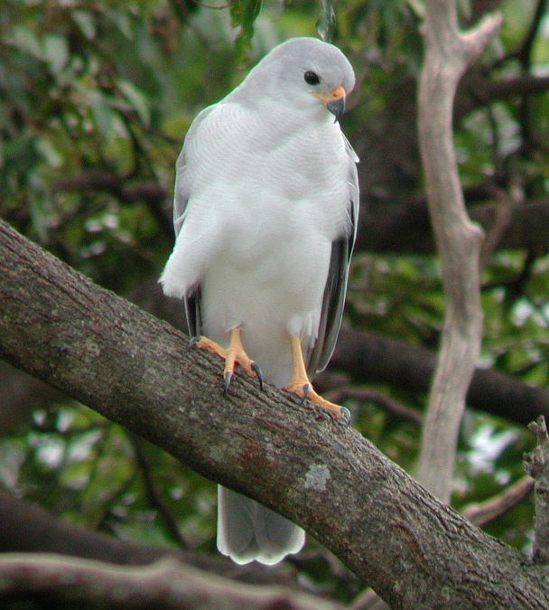 Grey Goshawk wallpaper