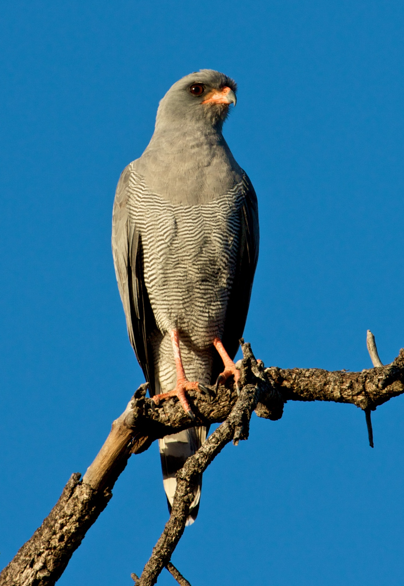 Dark Chanting Goshawk wallpaper