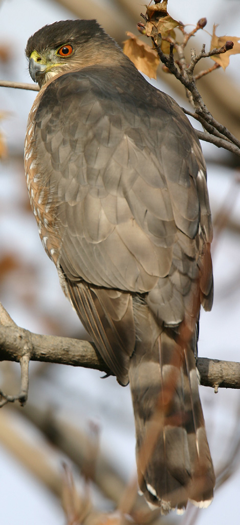 Cooper's Hawk wallpaper