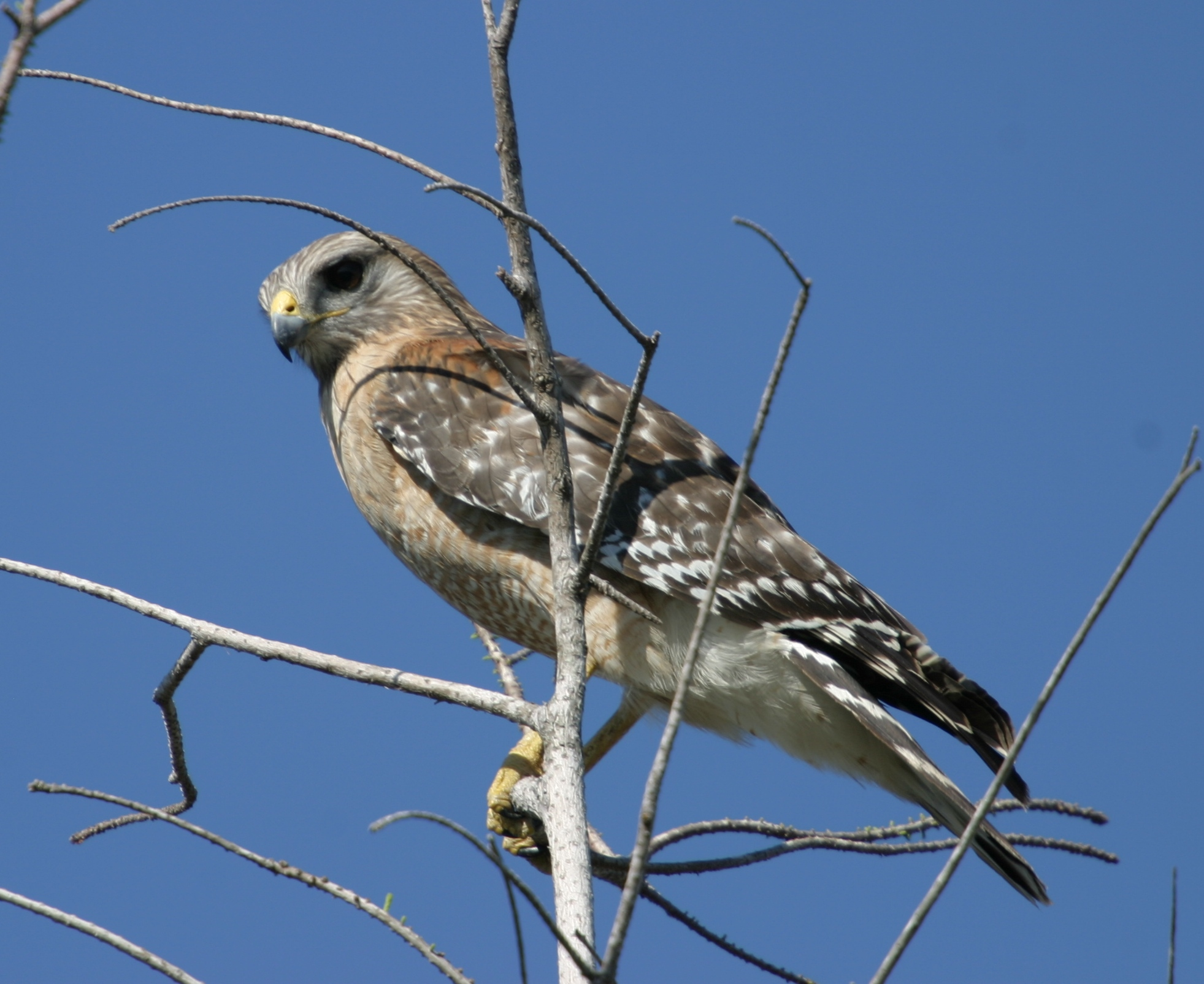 Red-shouldered Hawk wallpaper