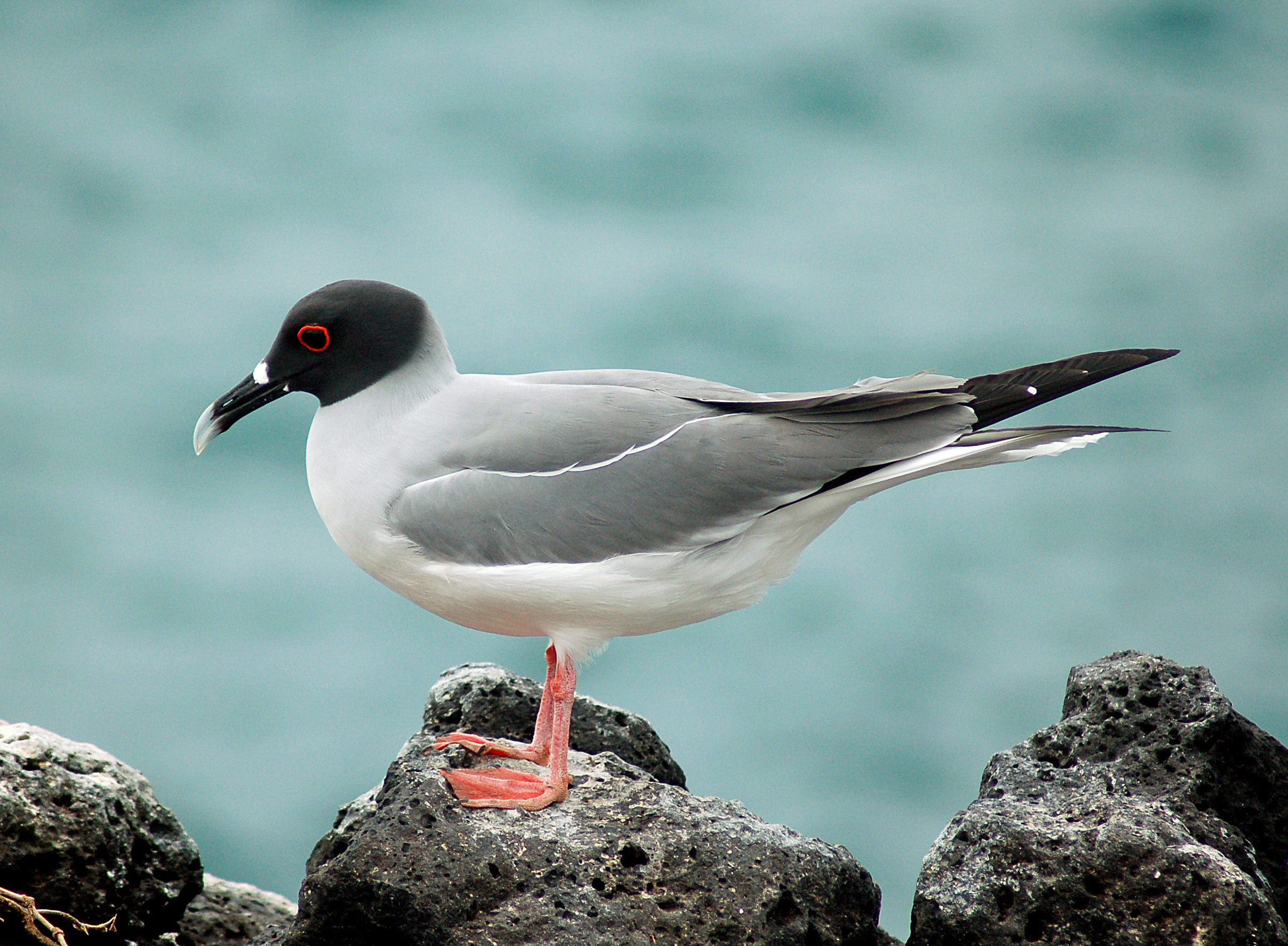 Swallow-tailed Gull wallpaper