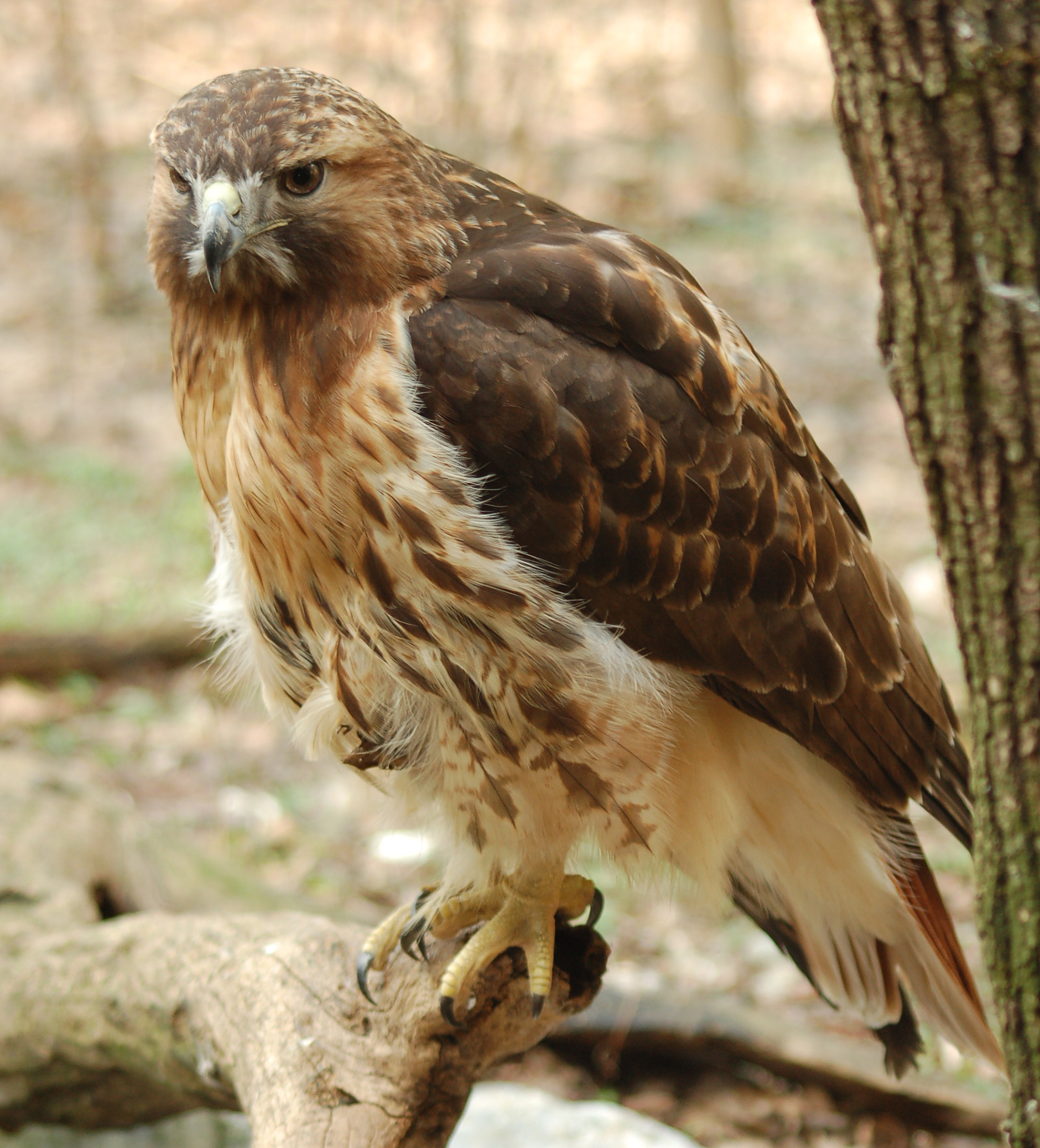 Red-tailed Hawk wallpaper