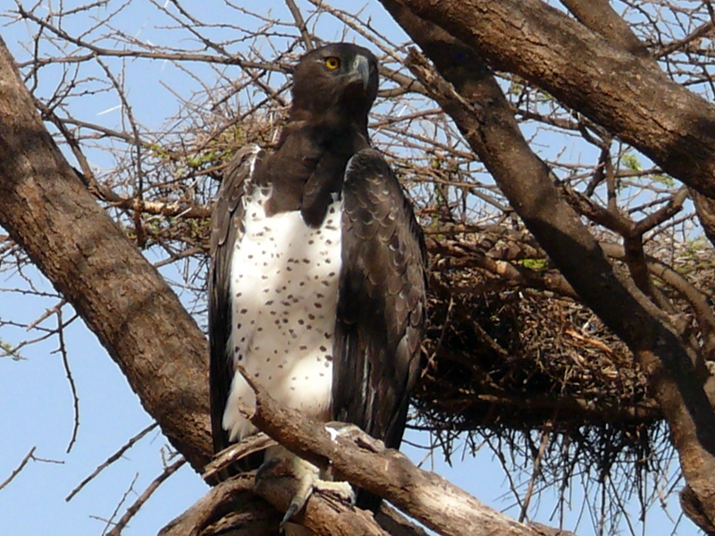 Martial Eagle wallpaper