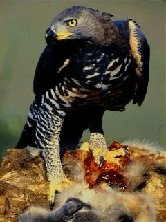 Crowned Eagle wallpaper