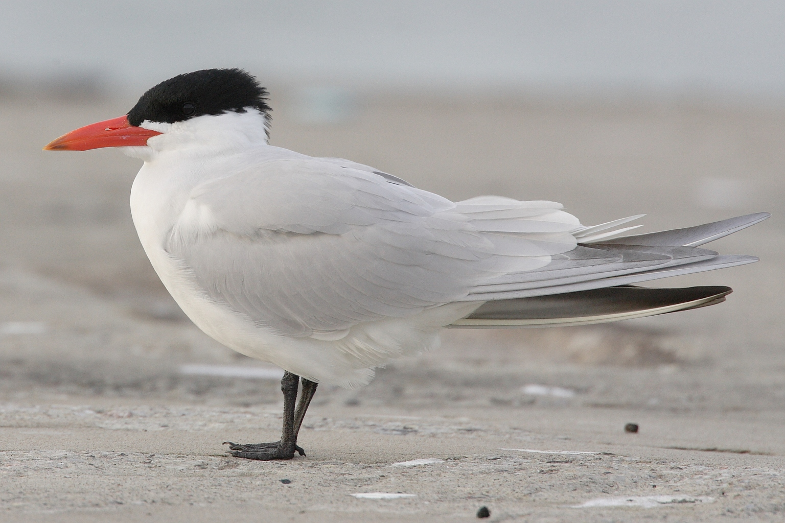 Caspian Tern wallpaper