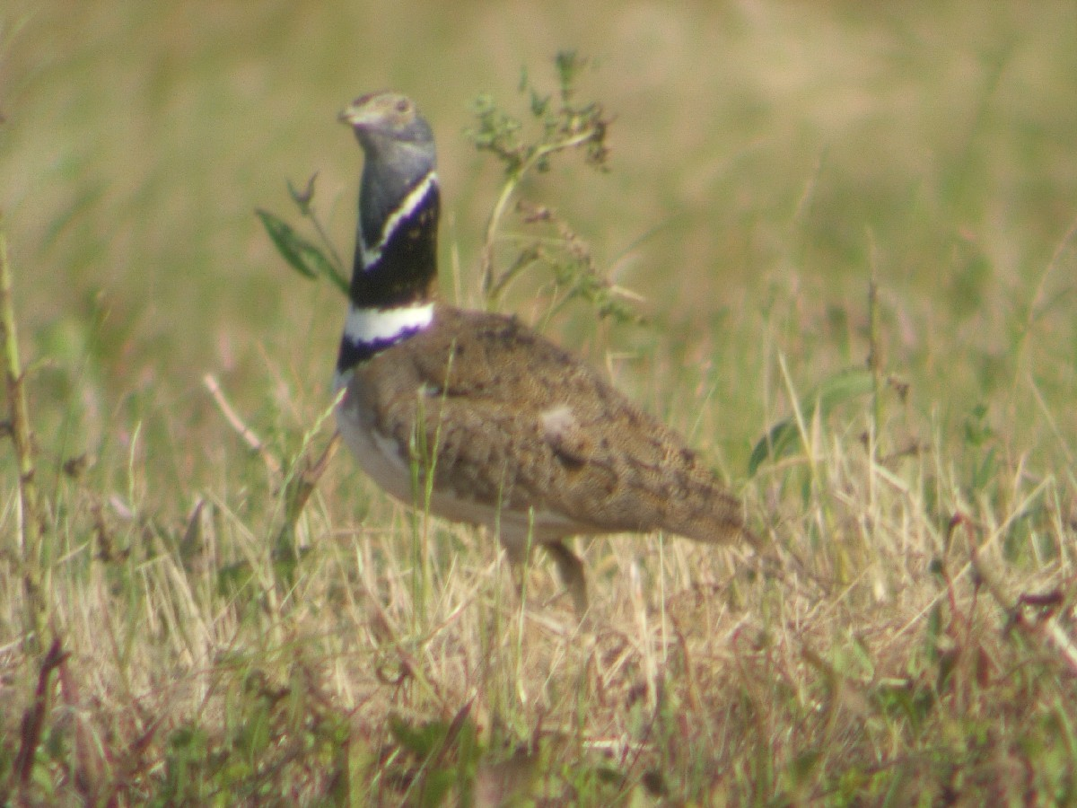 Little Bustard wallpaper