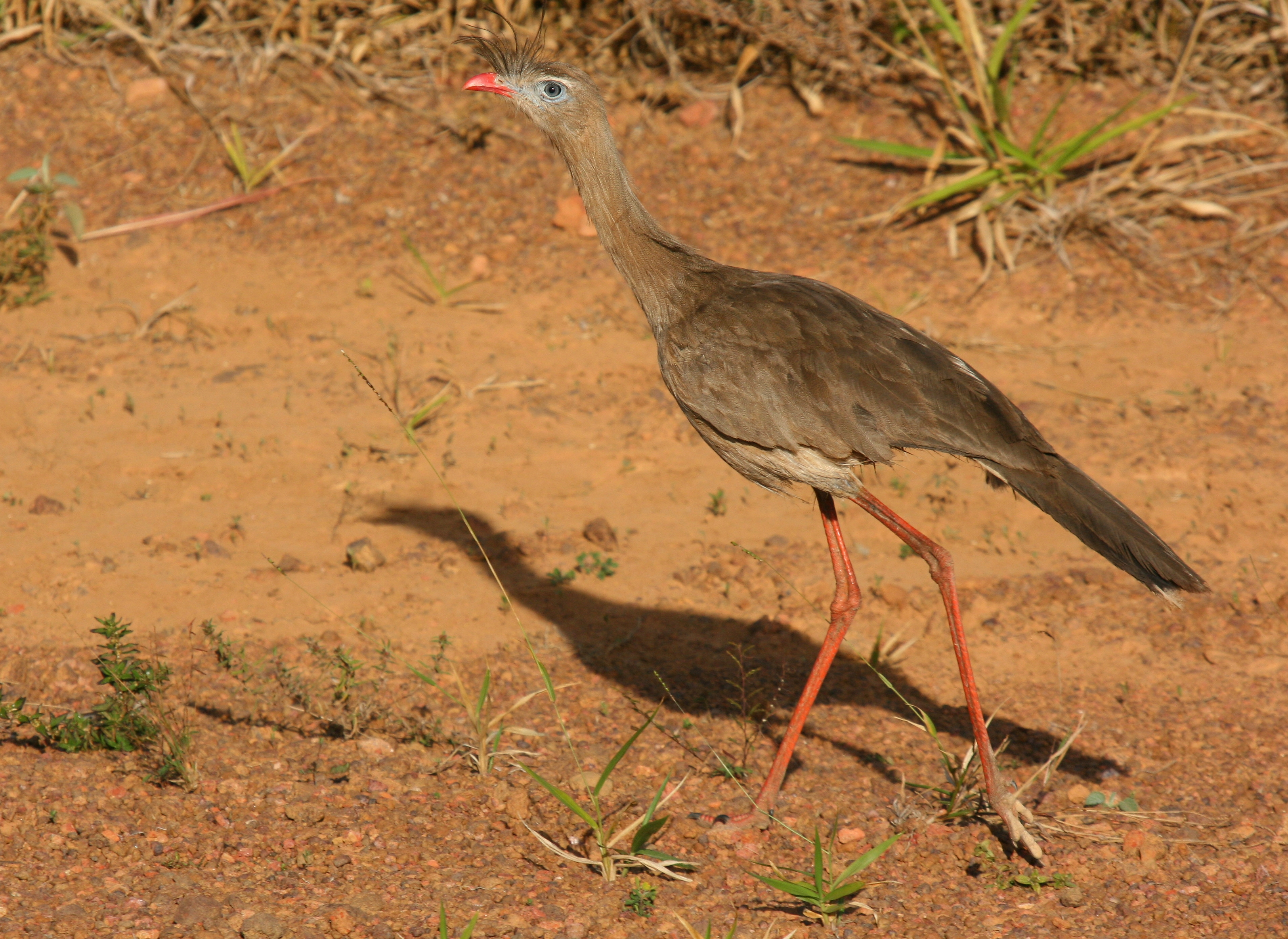 Red-legged Seriema wallpaper