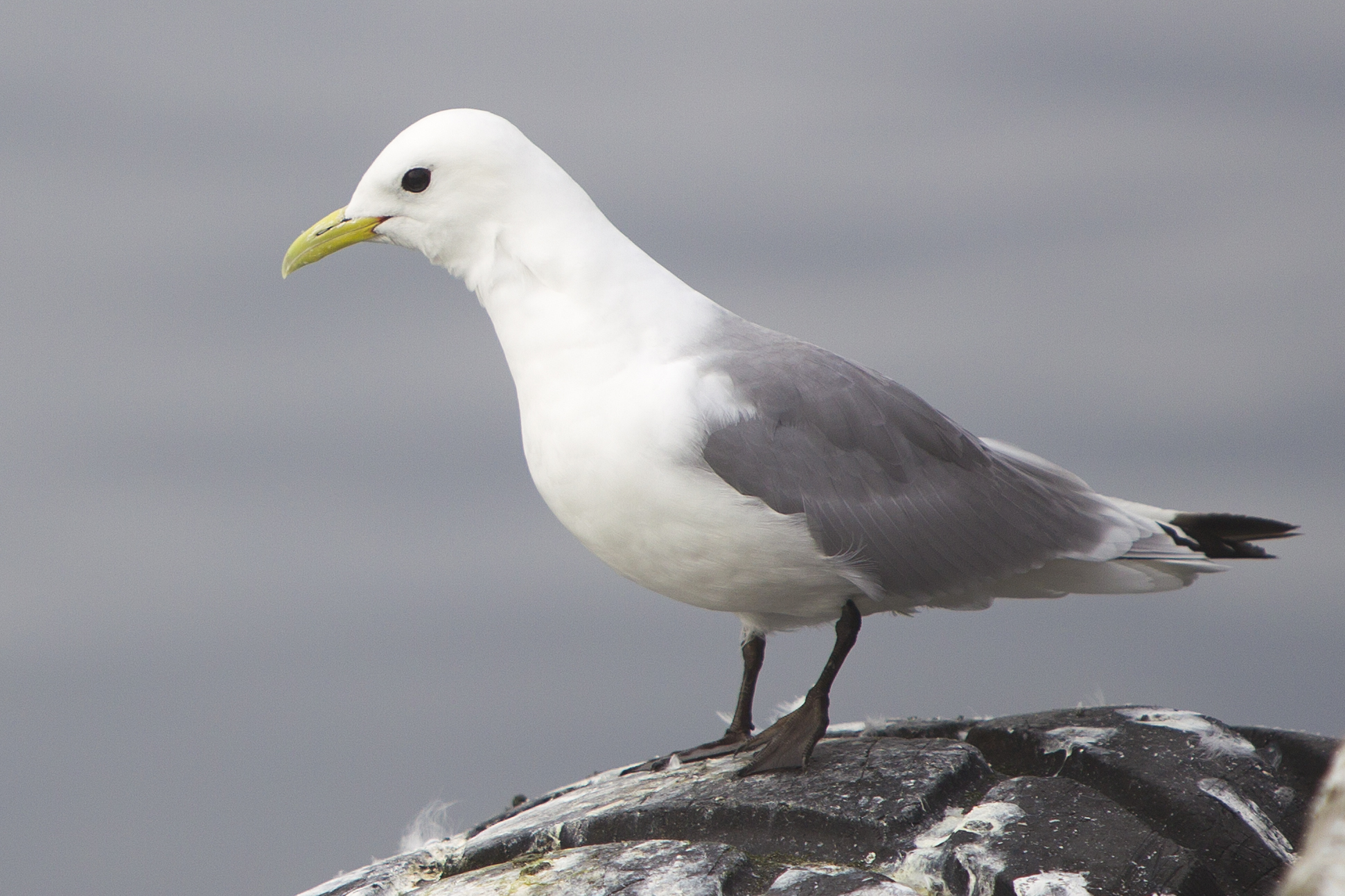 Black-legged Kittiwake wallpaper