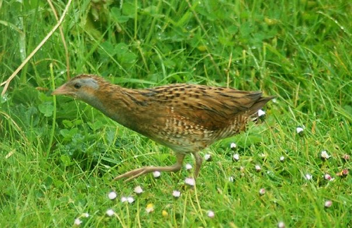 Corn Crake wallpaper
