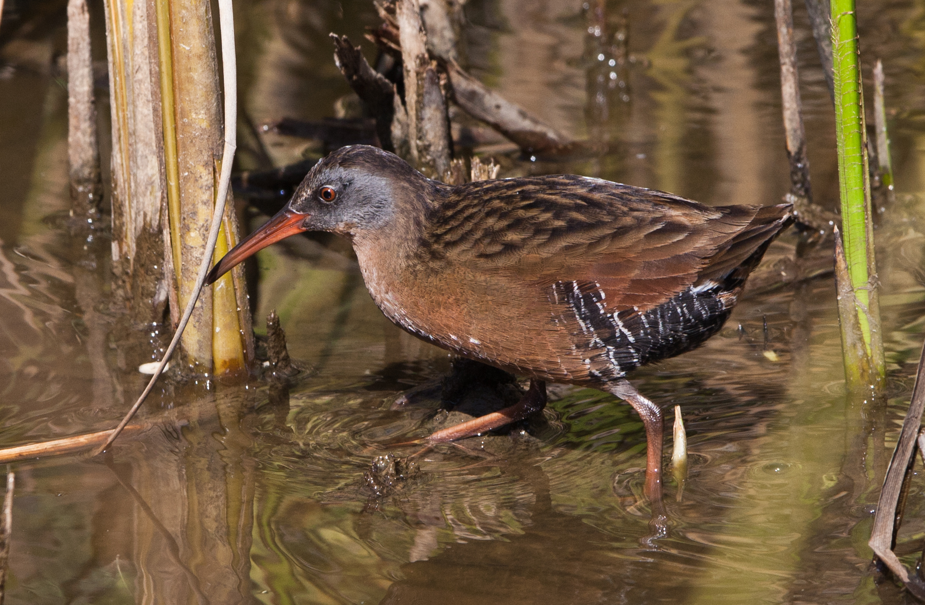 Virginia Rail wallpaper