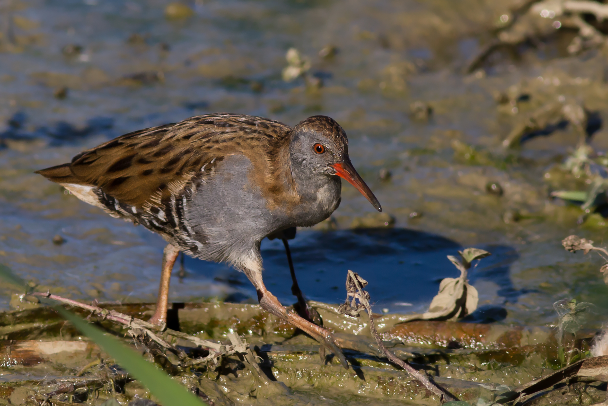 Water Rail wallpaper