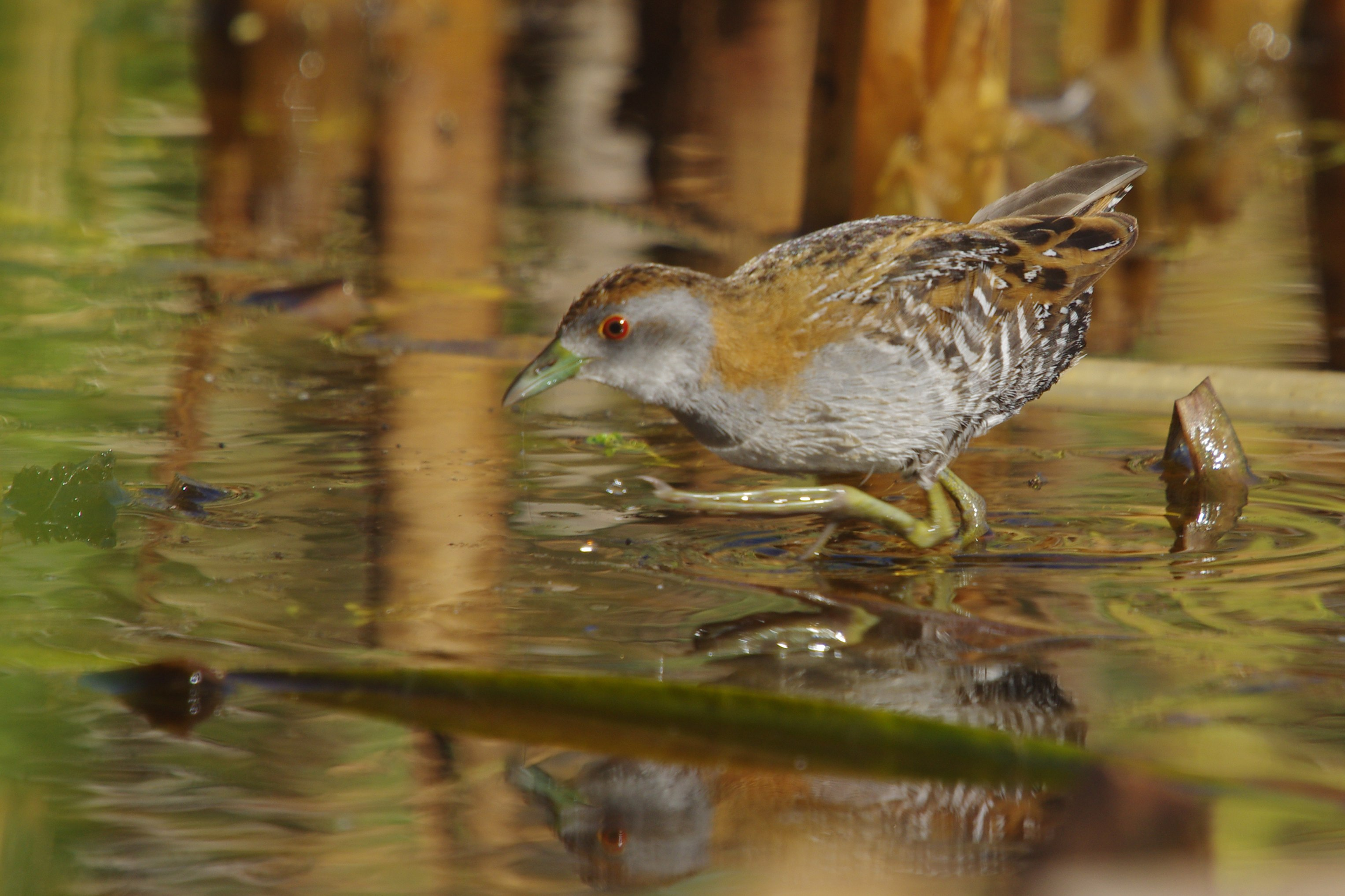 Baillon's Crake wallpaper