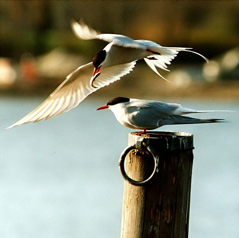 Arctic Tern wallpaper