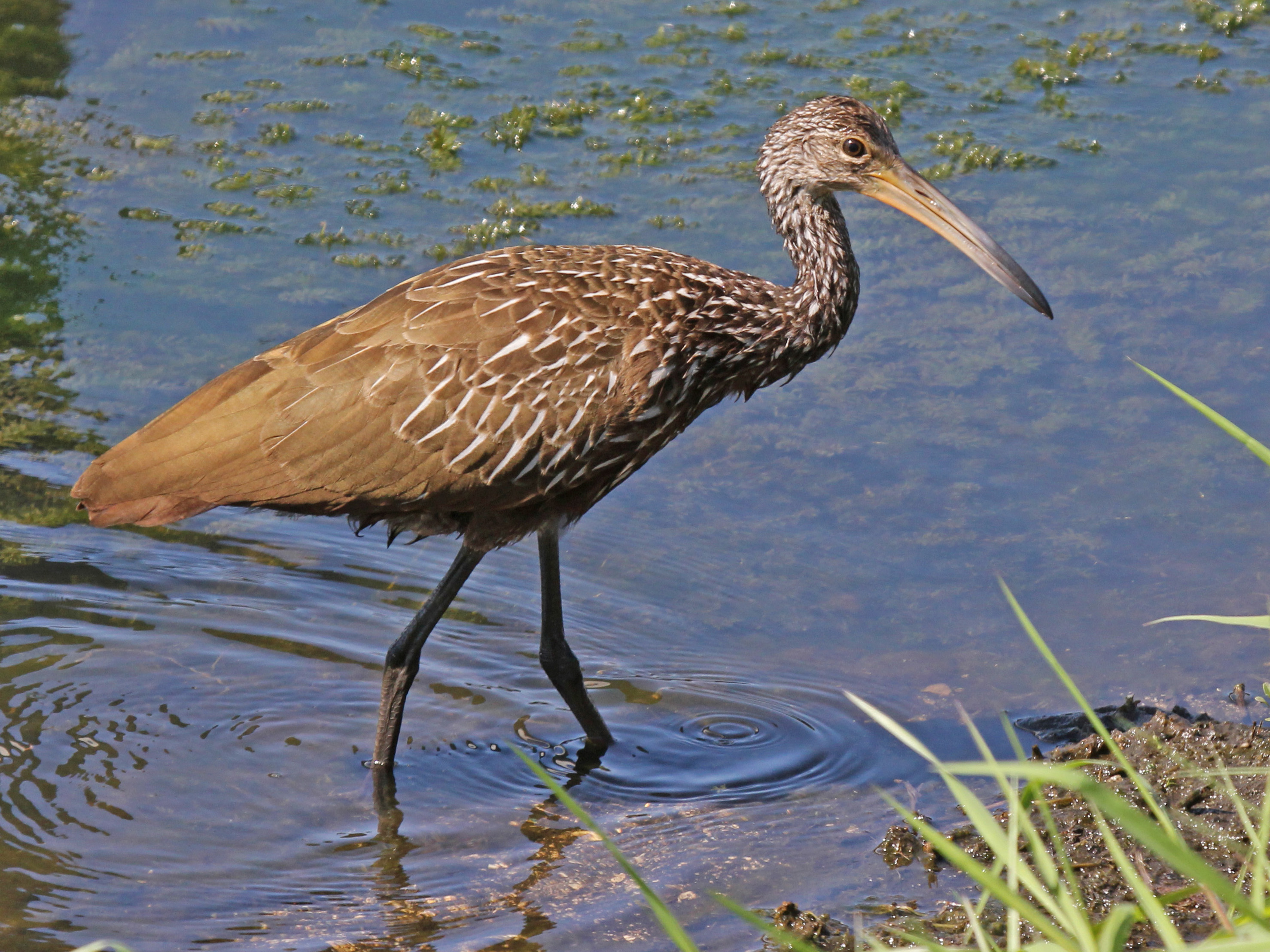 Limpkin wallpaper