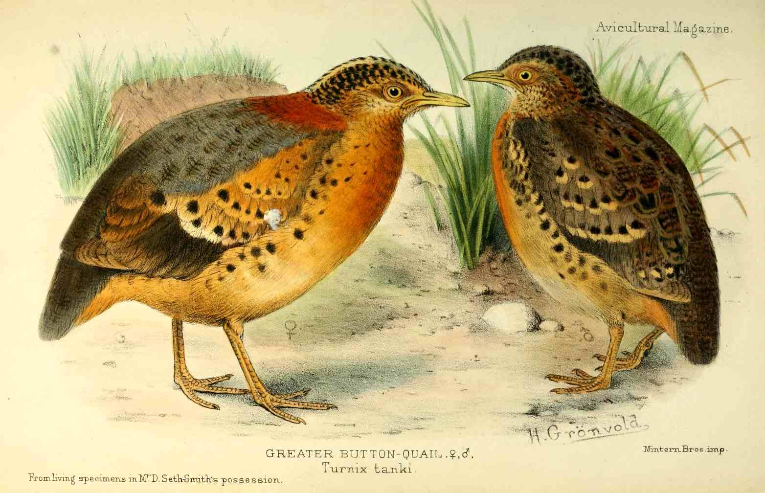 Yellow-legged Buttonquail wallpaper