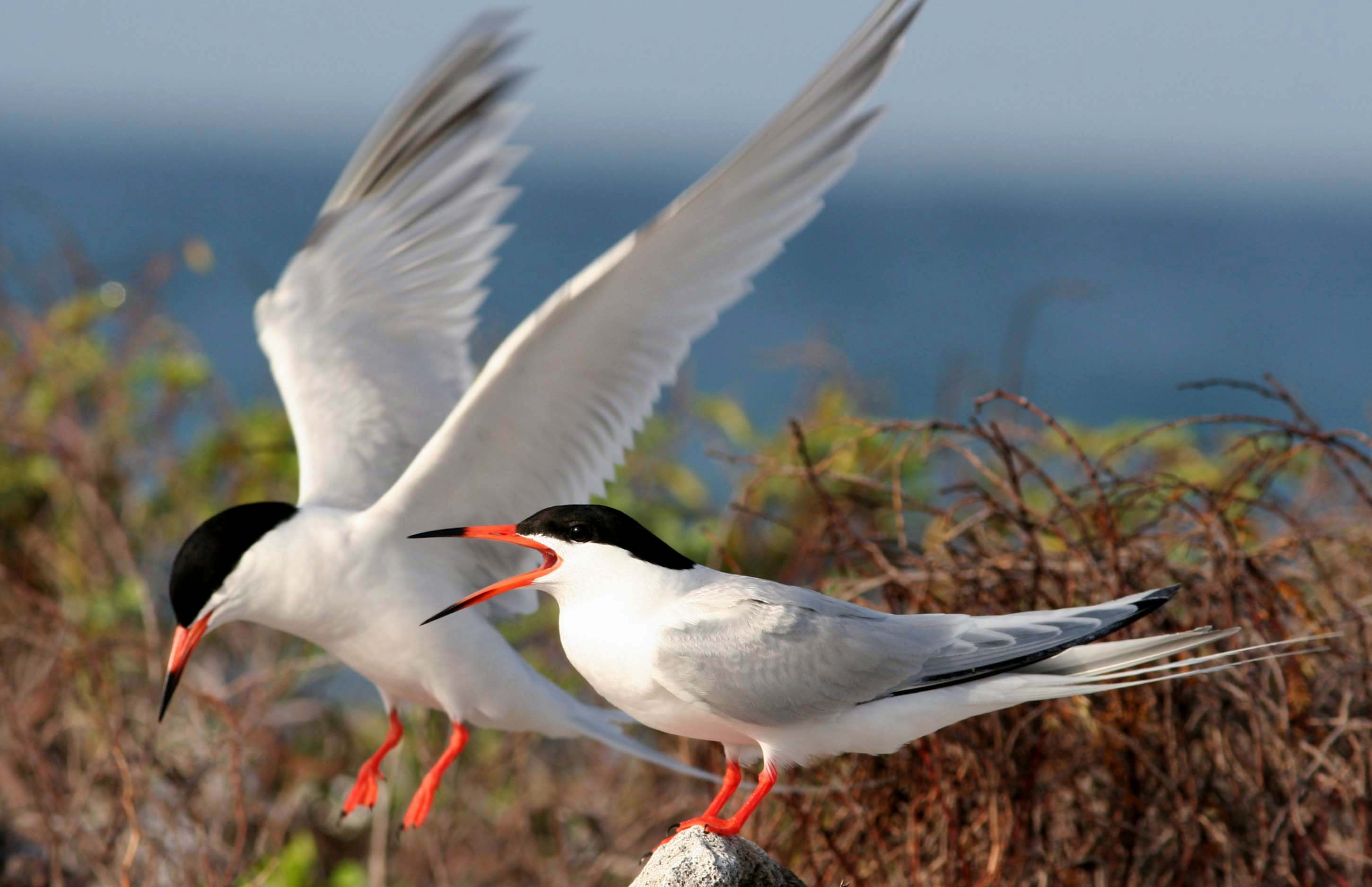 a look at the endangerment of the roseate tern species
