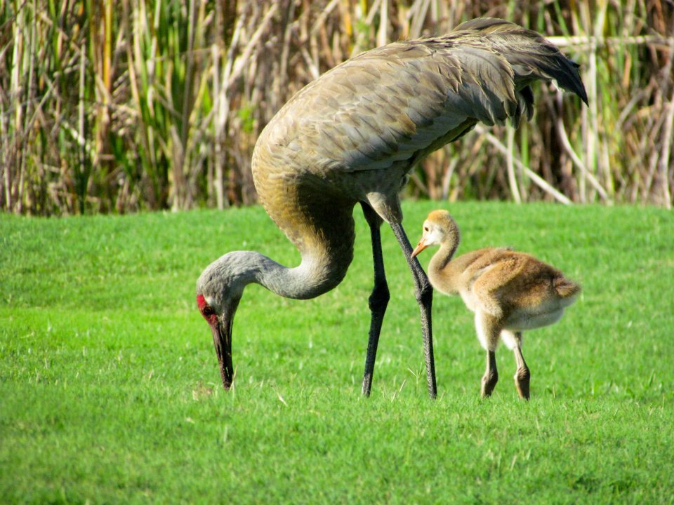 Sandhill Crane wallpaper