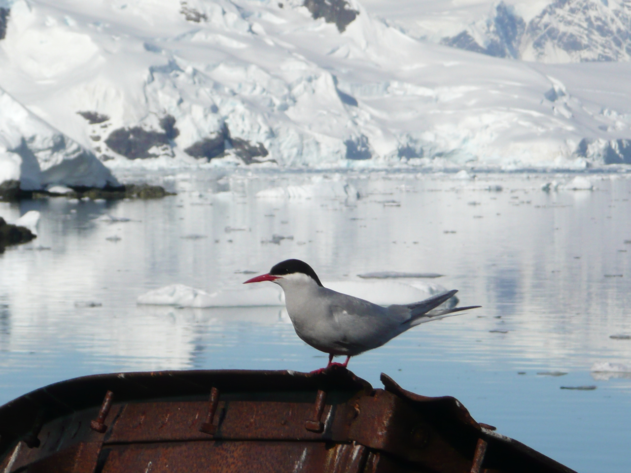 Antarctic Tern wallpaper