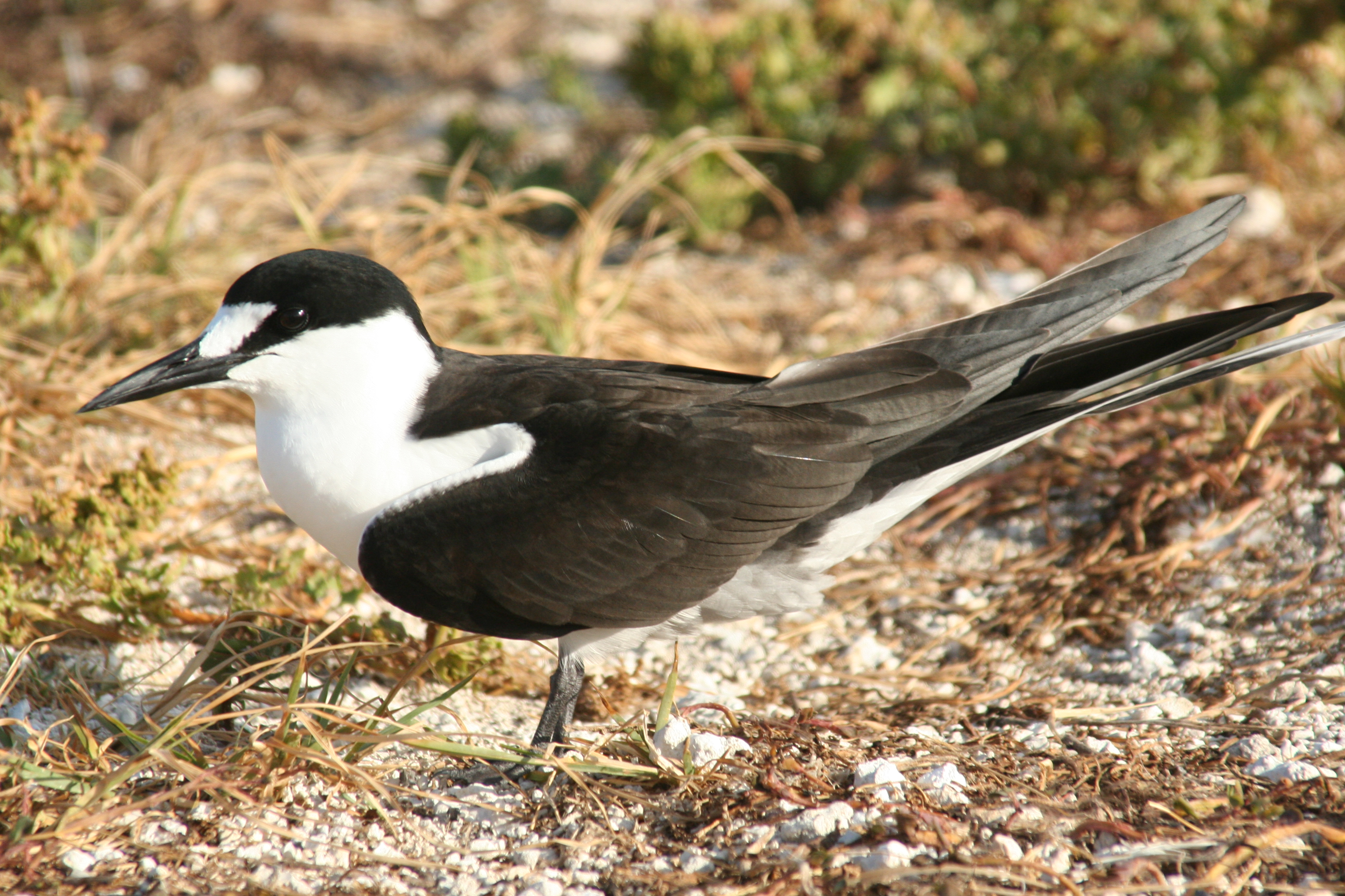 Sooty Tern wallpaper