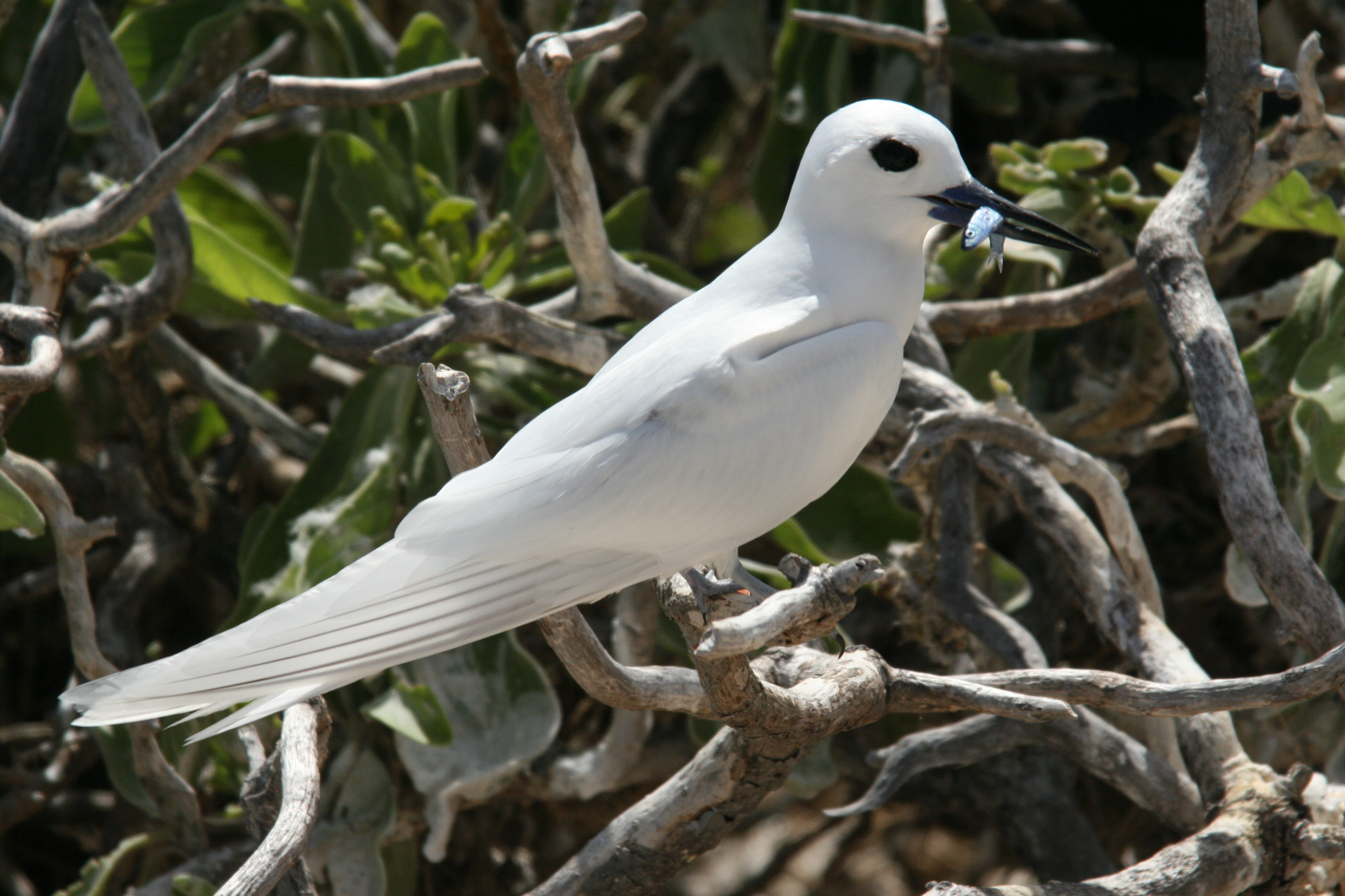 White Tern wallpaper