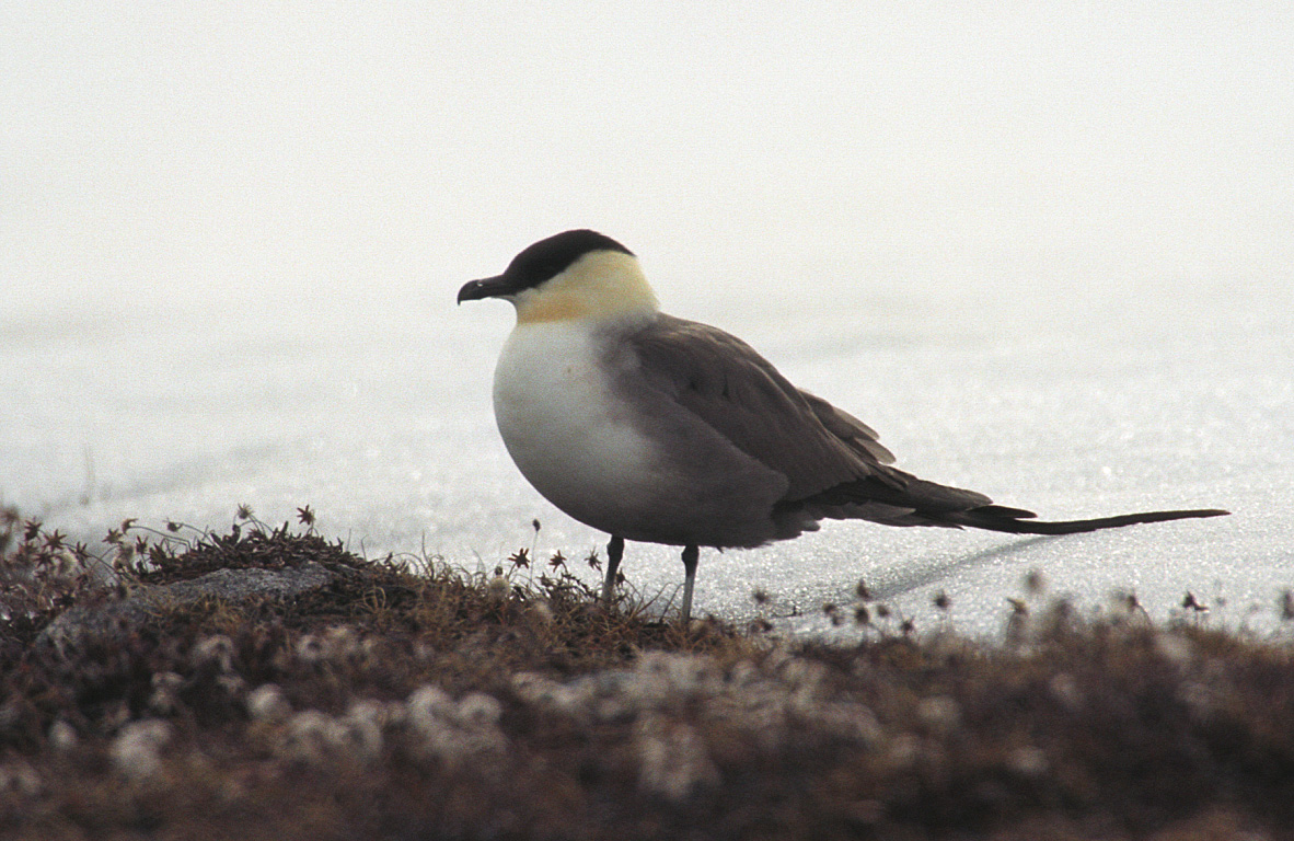 Long-tailed Skua wallpaper