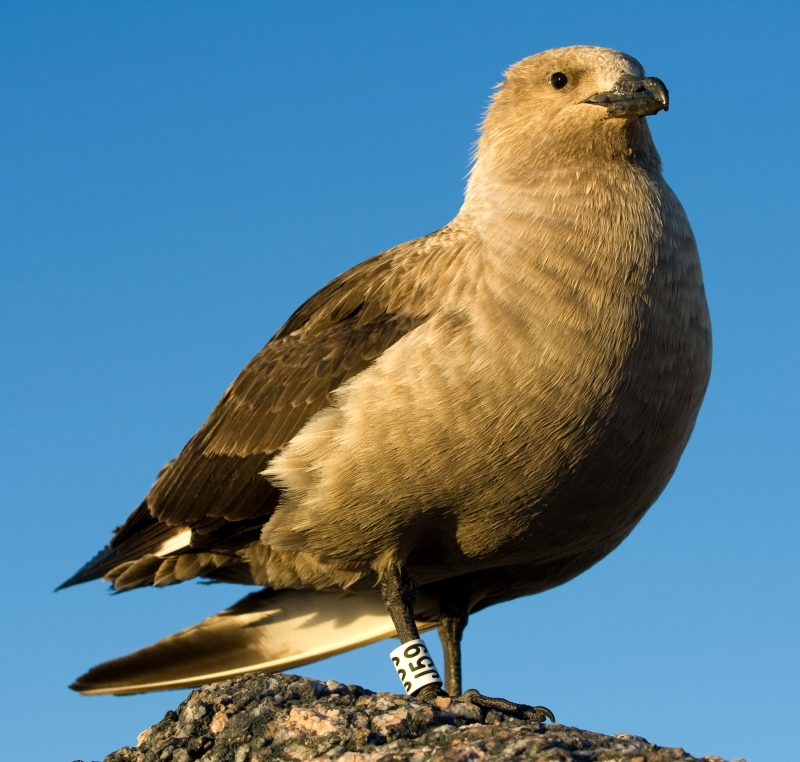 South Polar Skua wallpaper