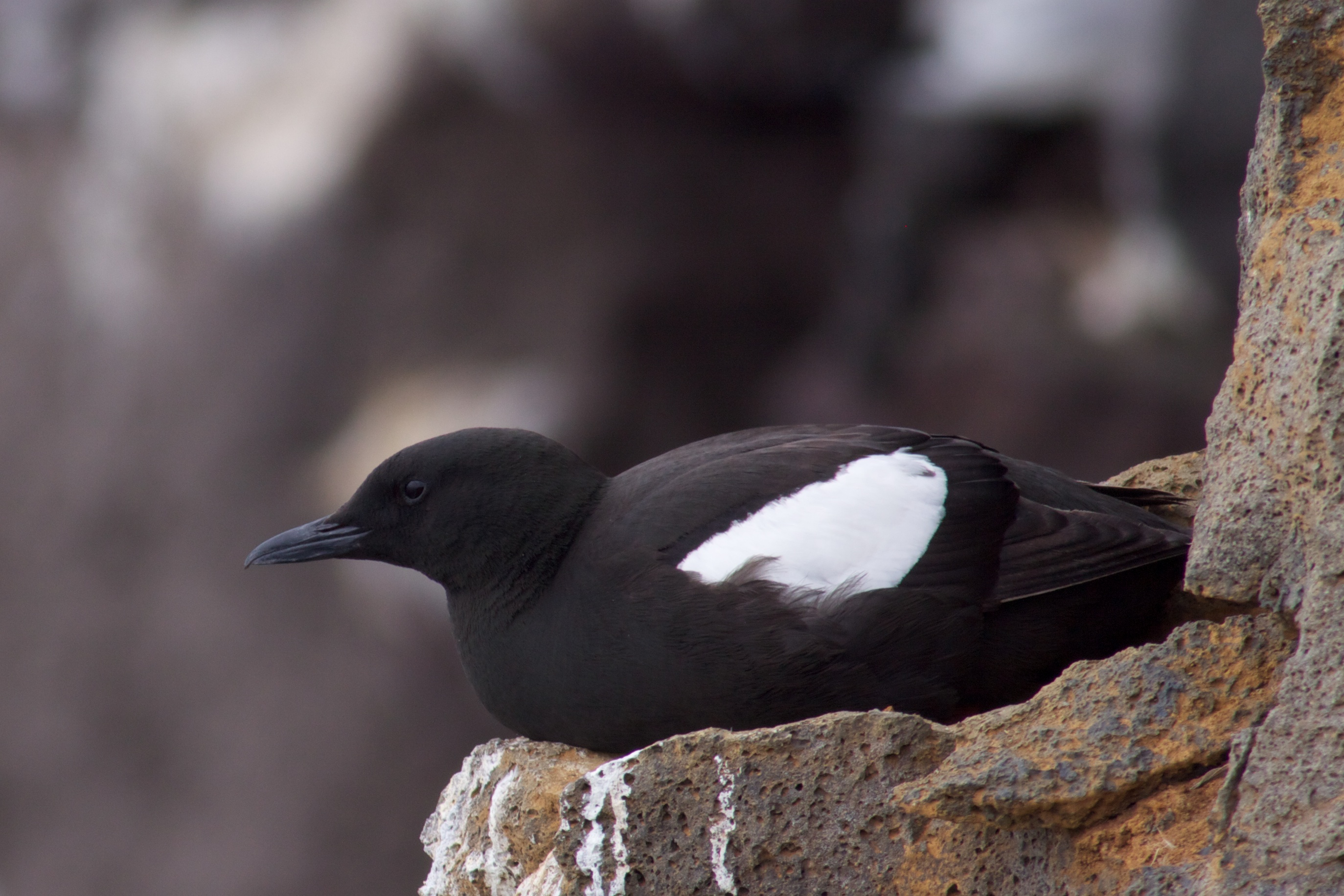 Black Guillemot wallpaper