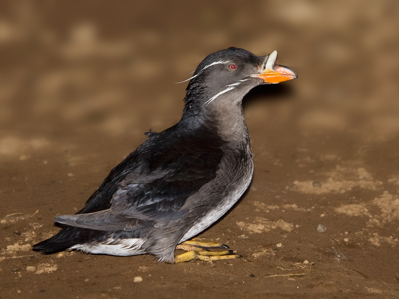 Rhinoceros Auklet wallpaper