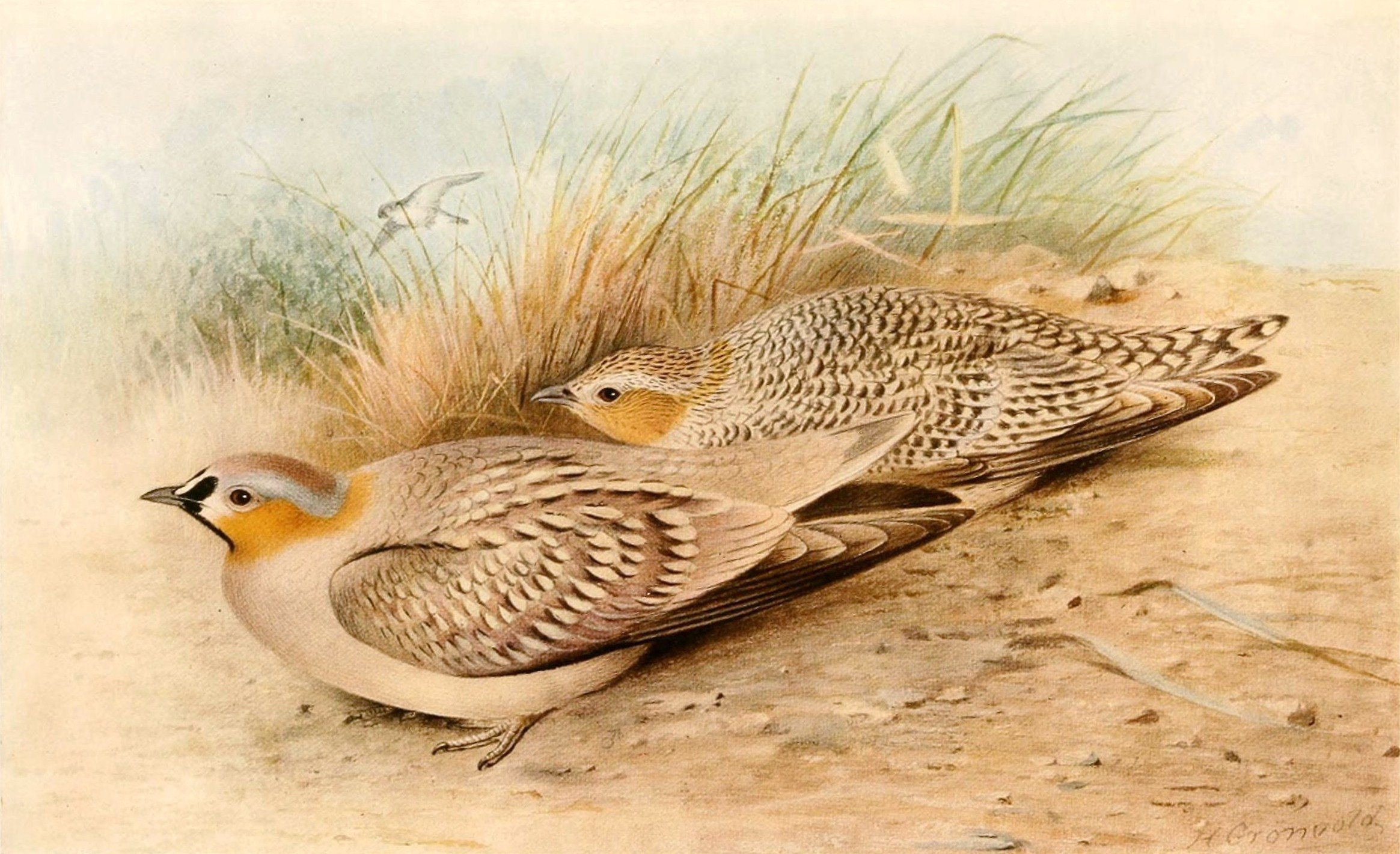 Crowned Sandgrouse wallpaper
