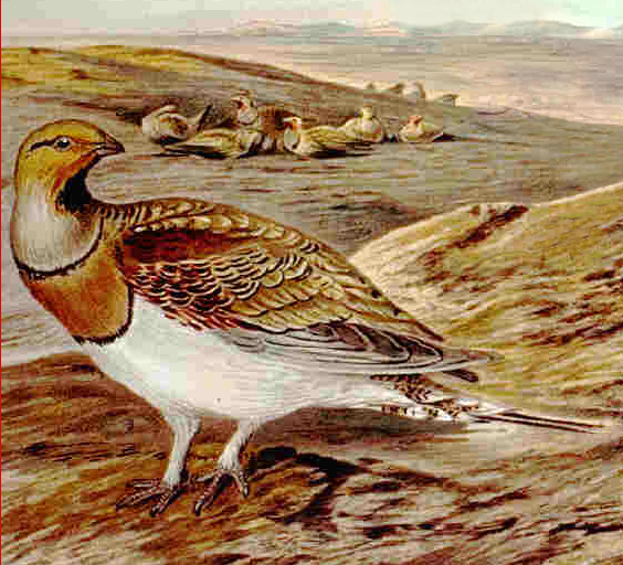 Pin-tailed Sandgrouse wallpaper