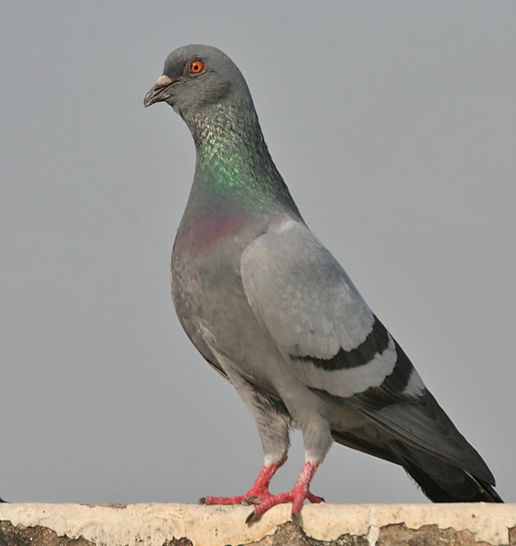 Common Pigeon wallpaper