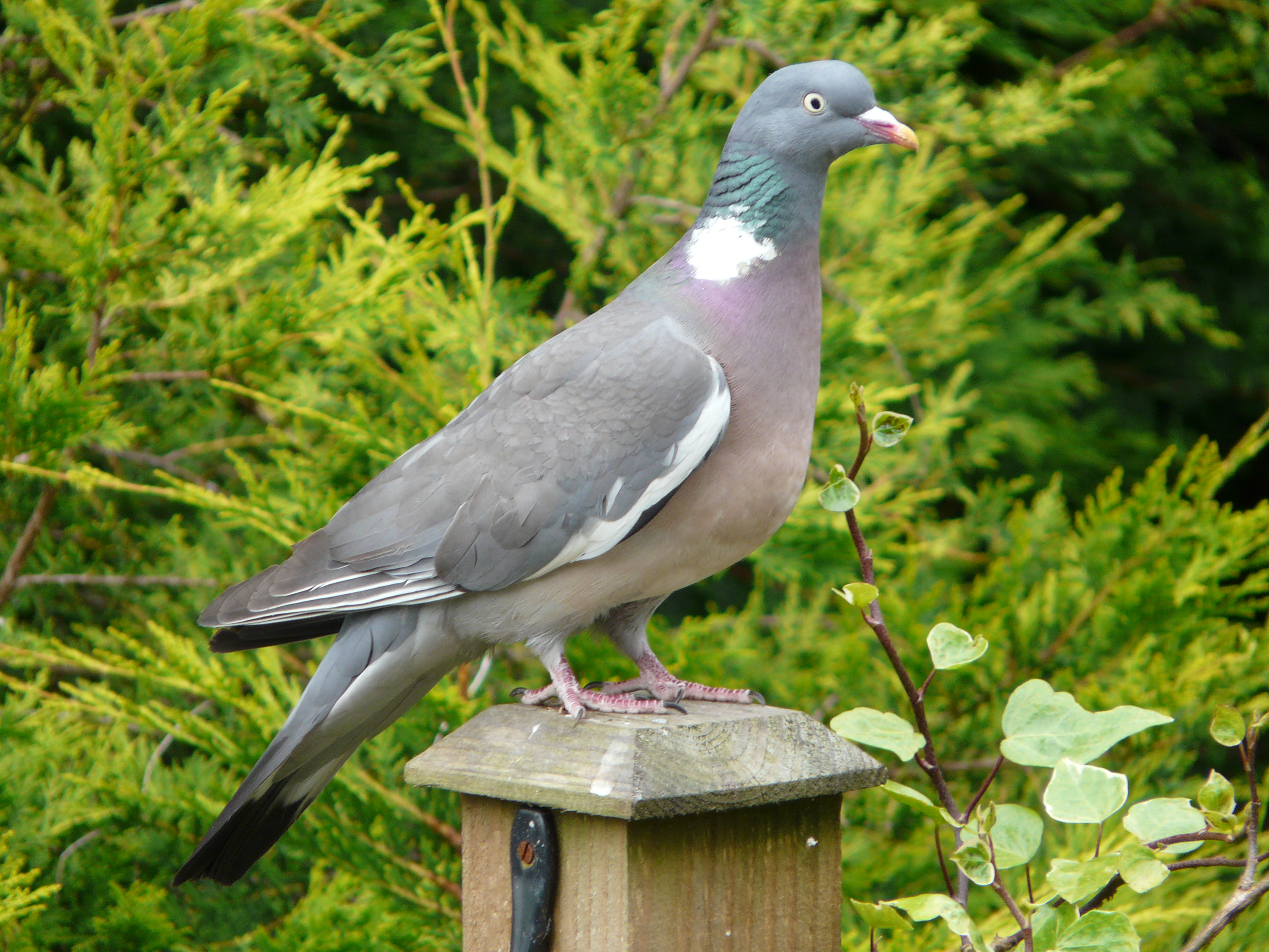 Wood Pigeon wallpaper