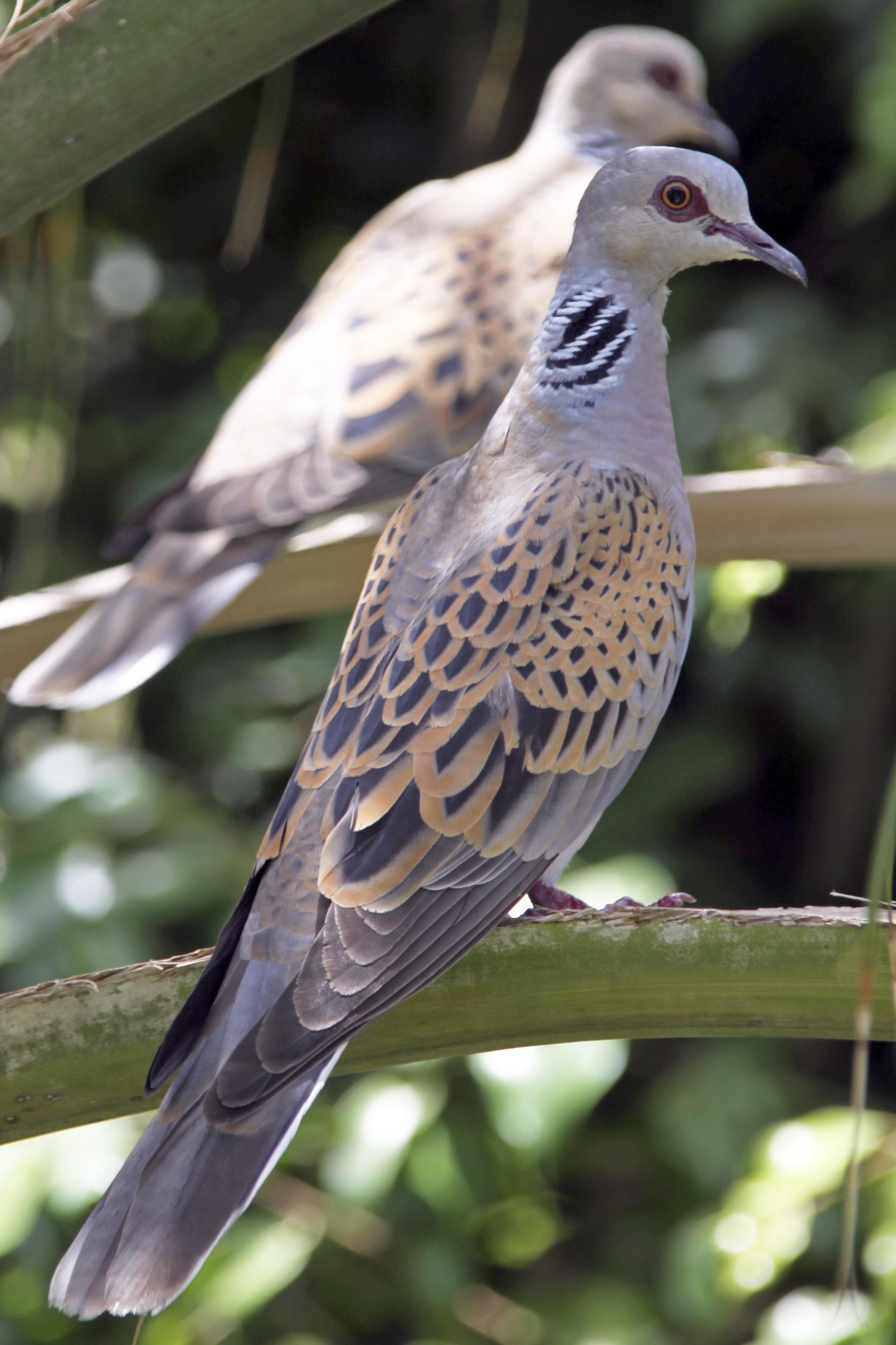 European Turtle Dove wallpaper