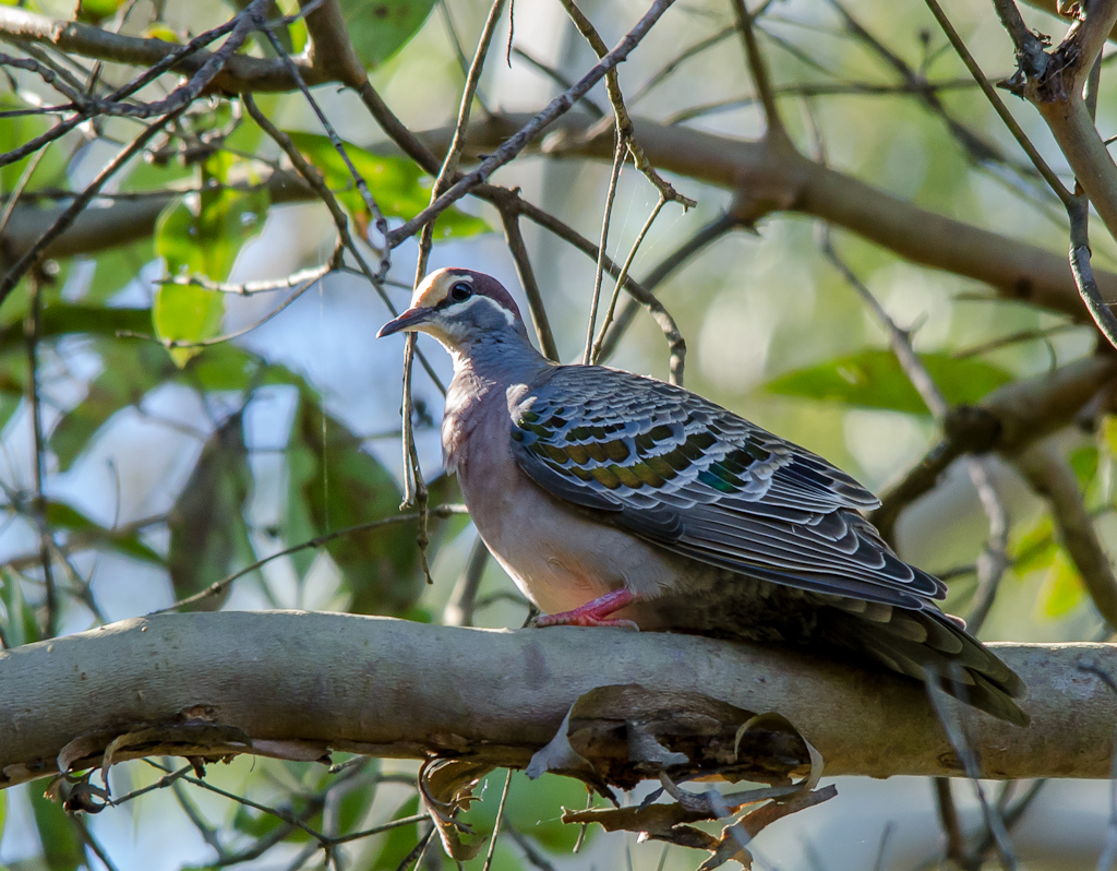 Common Bronzewing wallpaper