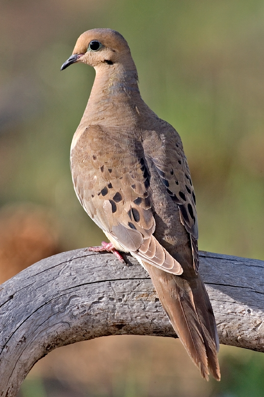 Mourning Dove wallpaper