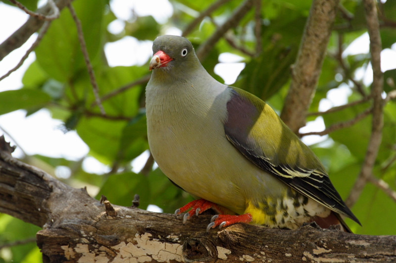 African Green Pigeon wallpaper