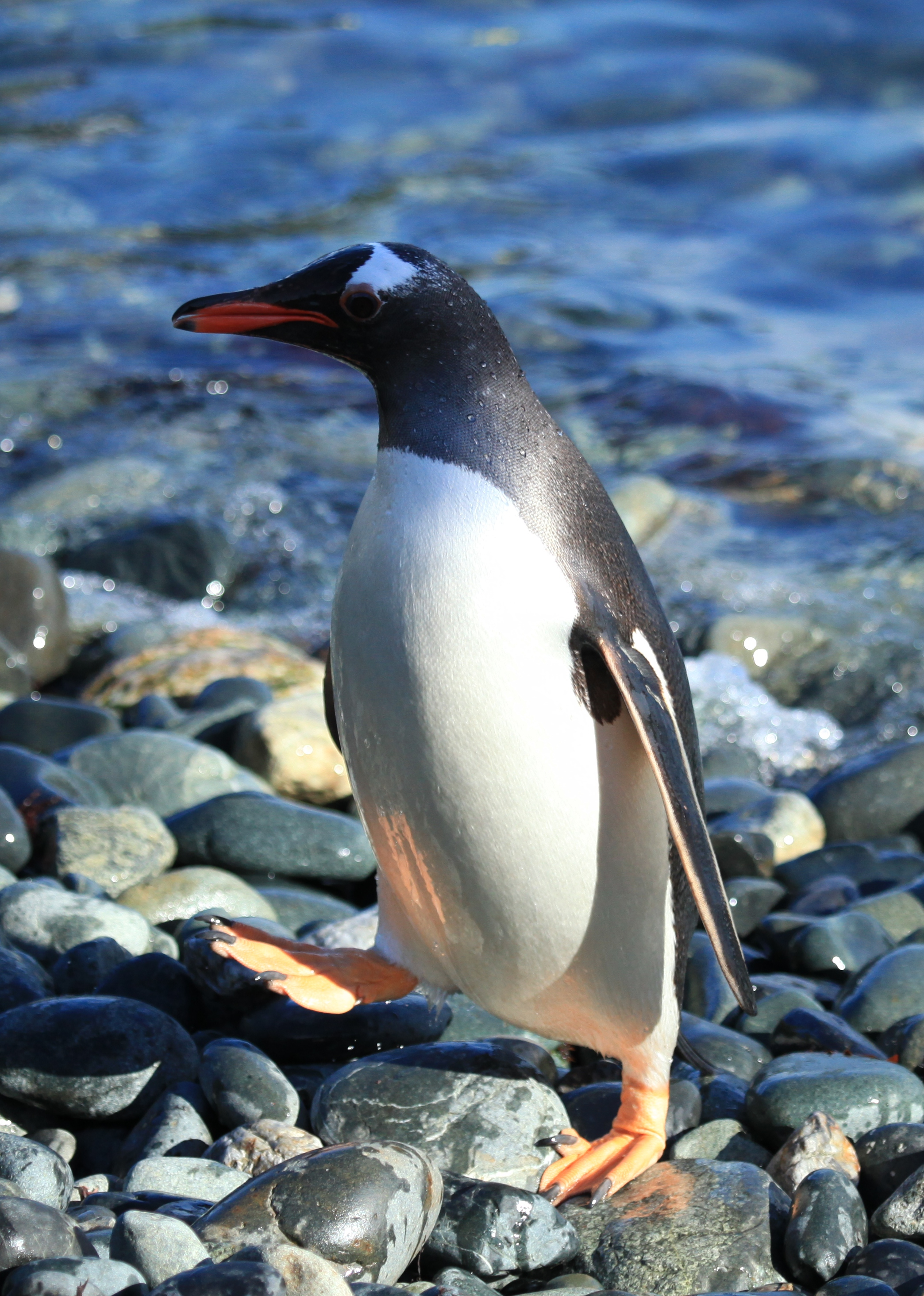 Gentoo Penguin wallpaper