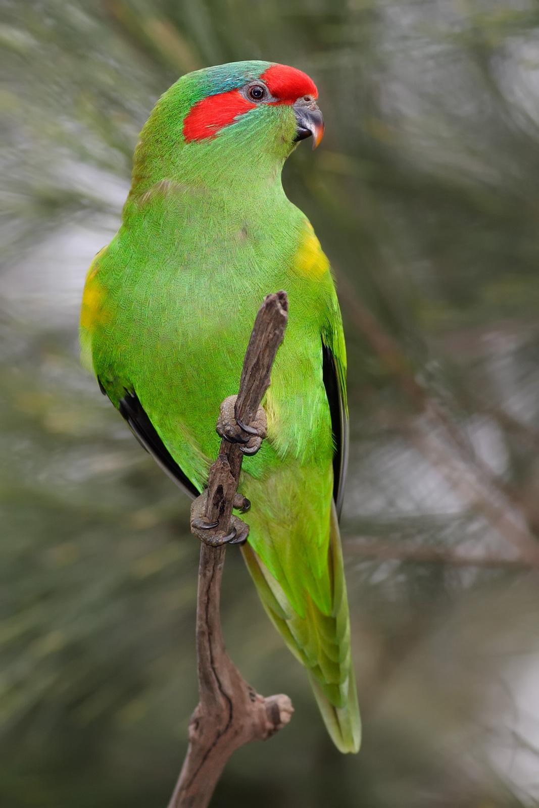 Musk Lorikeet wallpaper