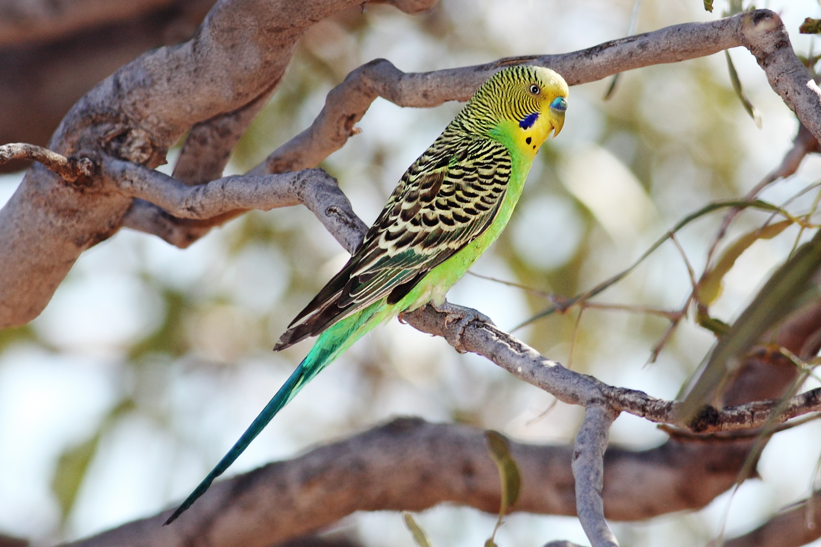 Budgerigar wallpaper