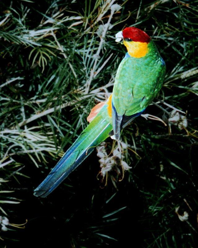 Red-capped Parrot wallpaper