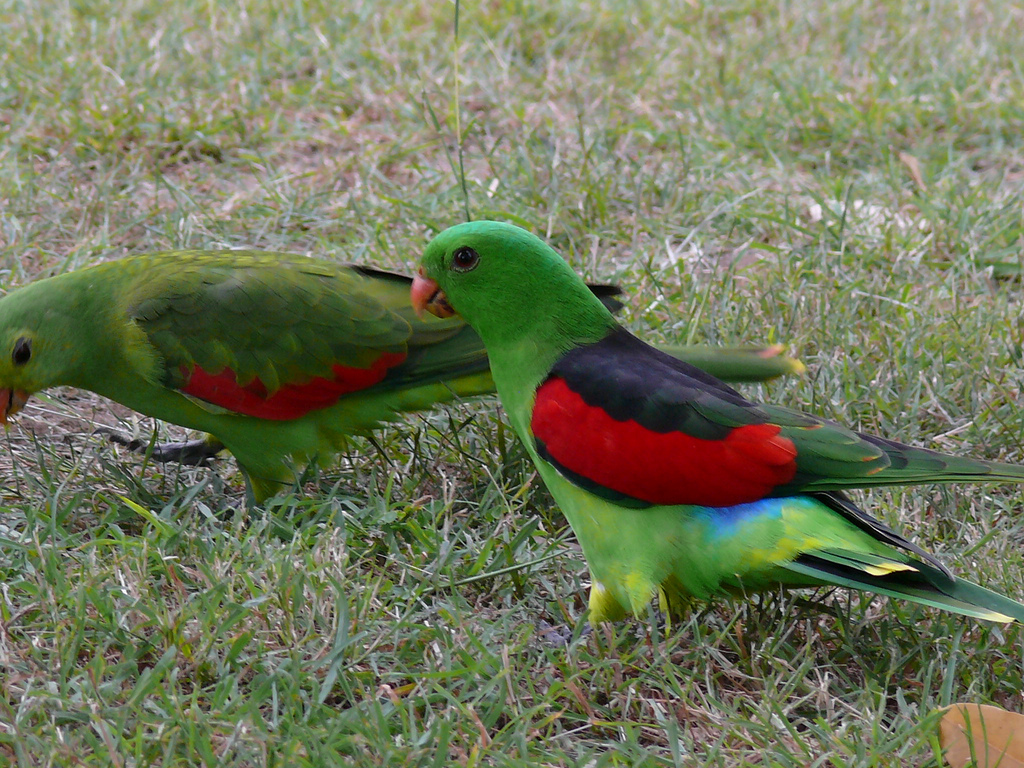 Red-winged Parrot wallpaper