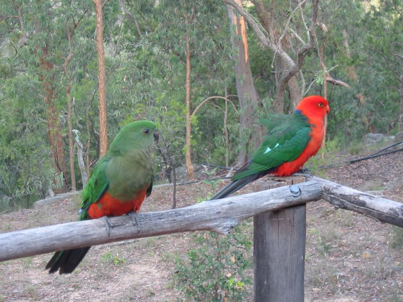 Australian King Parrot wallpaper