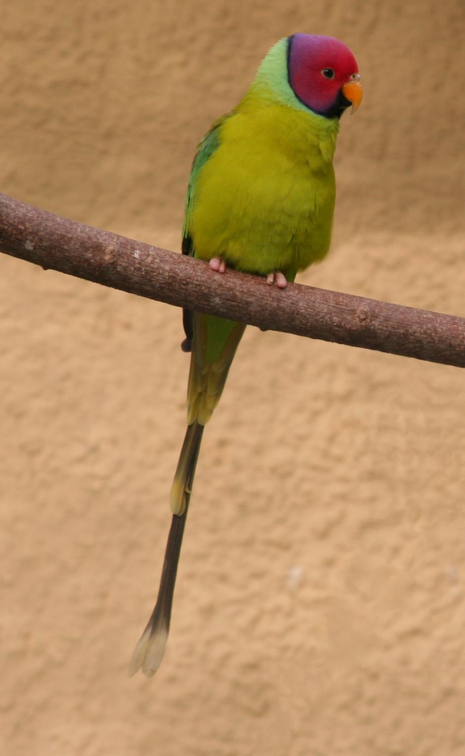 Plum-headed Parakeet wallpaper