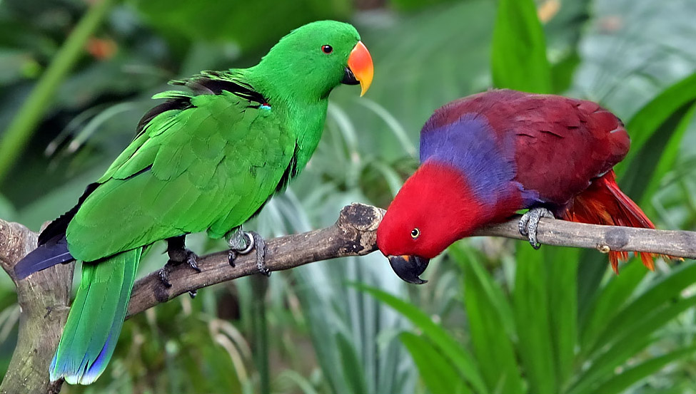 Eclectus Parrot wallpaper
