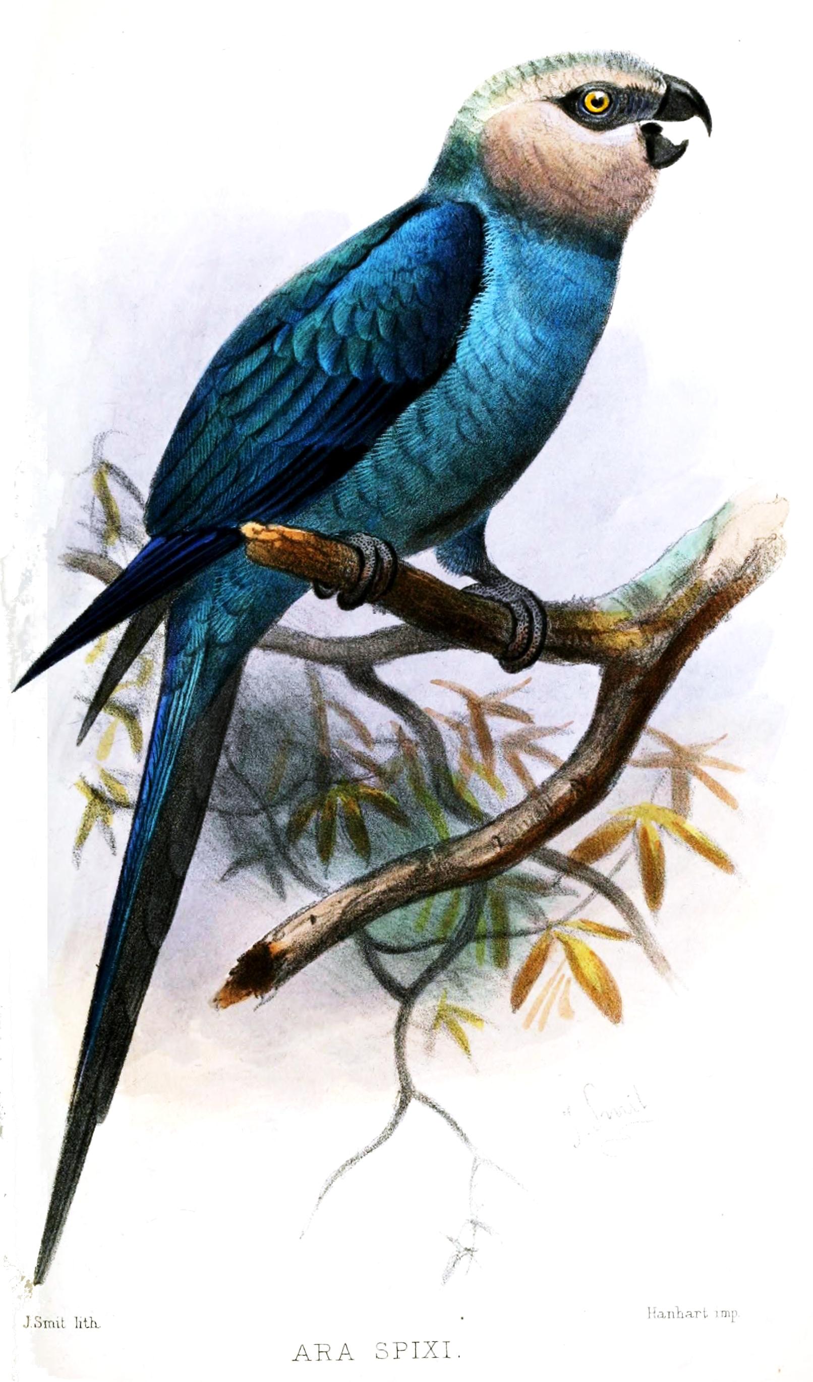 Spix's Macaw wallpaper