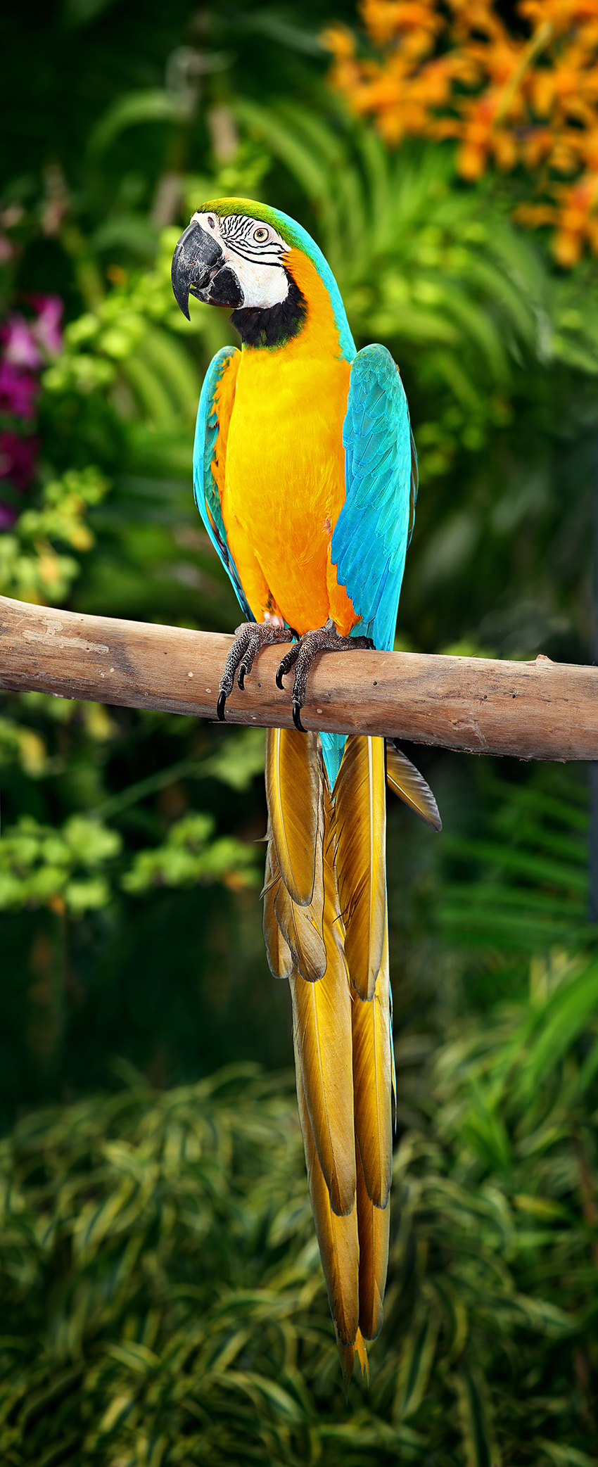 Blue-and-yellow Macaw wallpaper