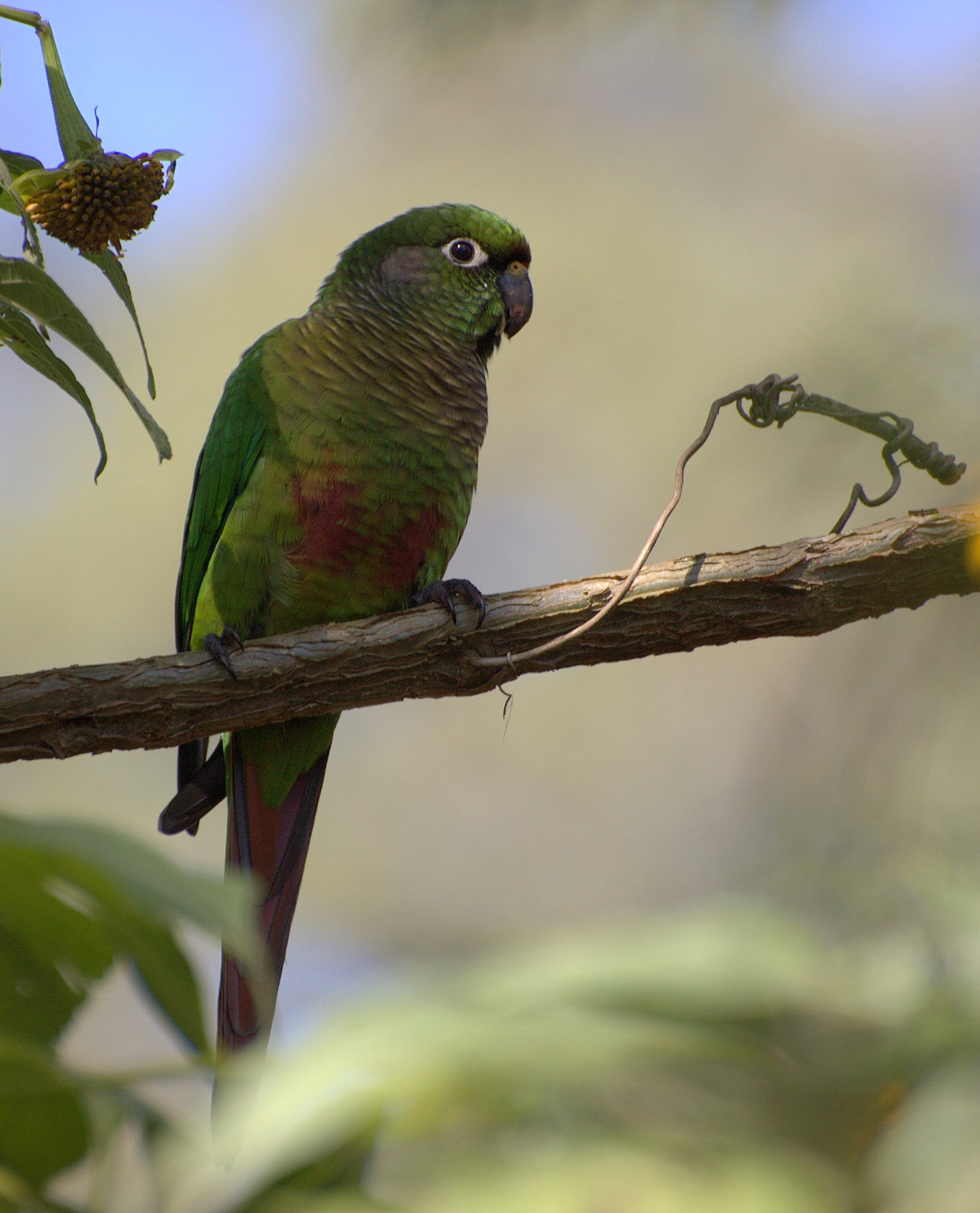 Reddish-bellied Parakeet wallpaper