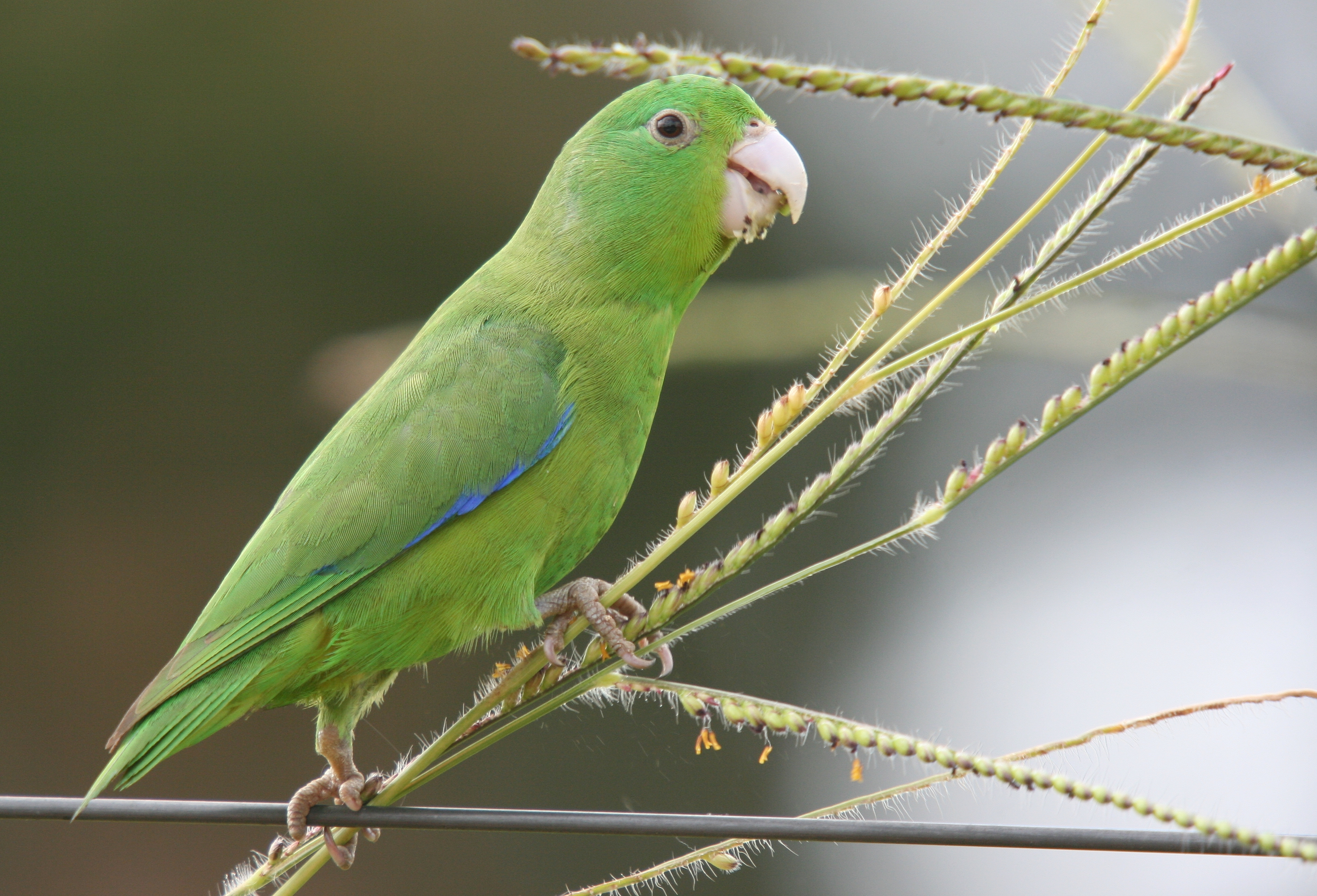 Blue-winged Parrotlet wallpaper