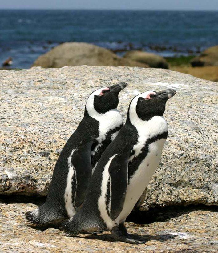 African Penguin wallpaper
