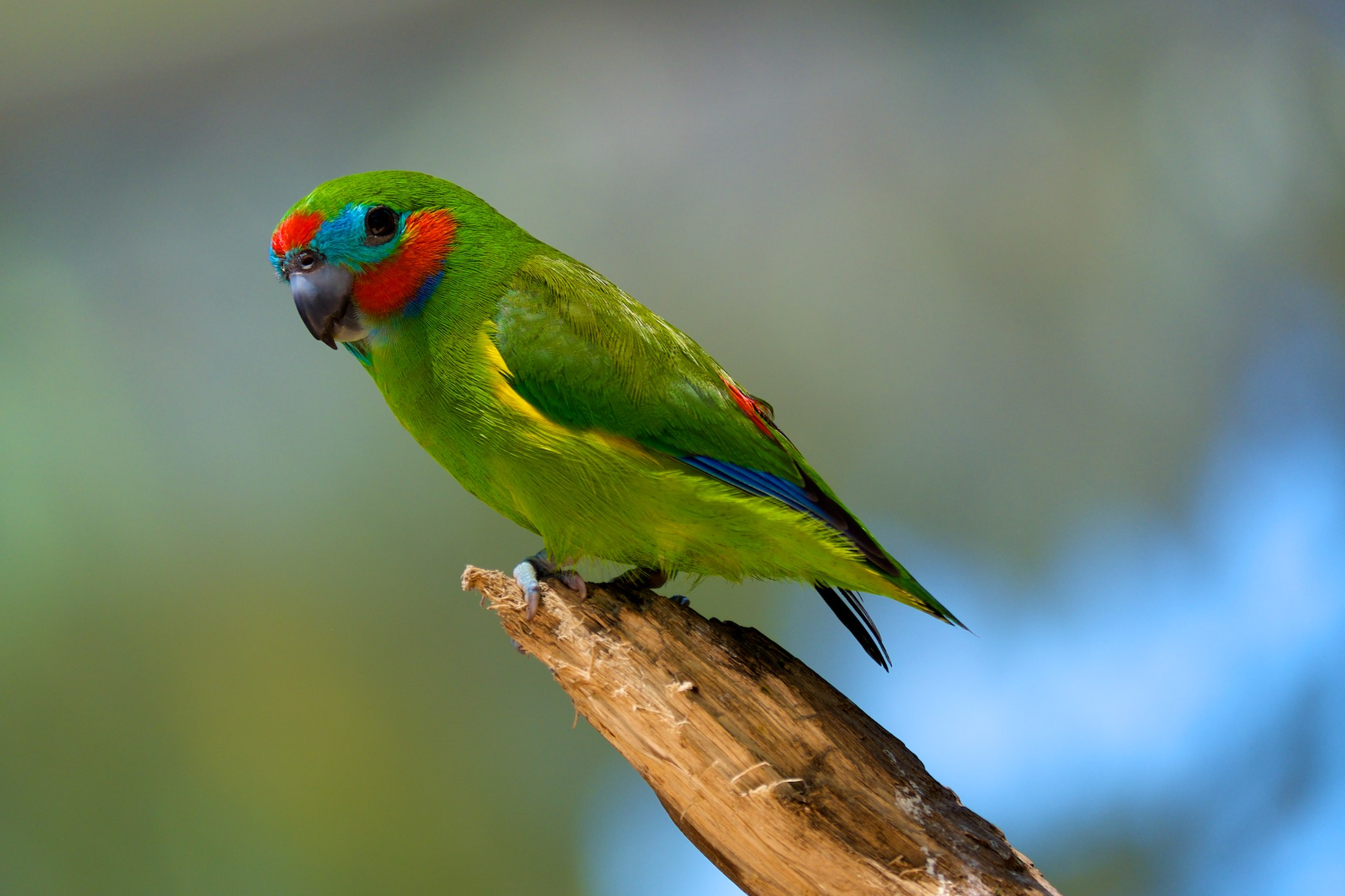 Double-eyed Fig-parrot wallpaper